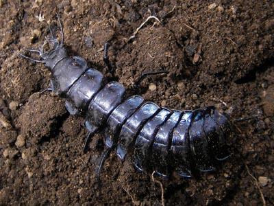 マイマイカブリ幼虫