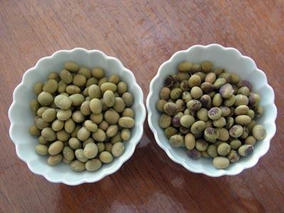 正常大豆と紫斑病の大豆