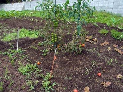 Tomato120708