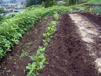旧菜園の大豆