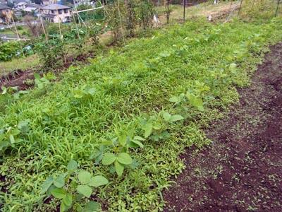 新菜園の大豆