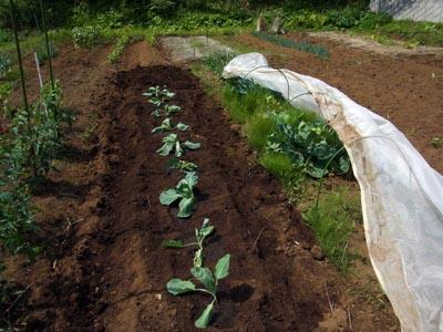 キャベツ植え付け
