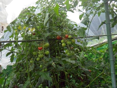トマト回復