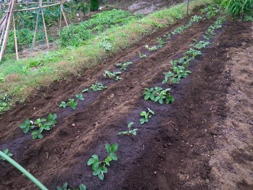 イチゴ植え付け