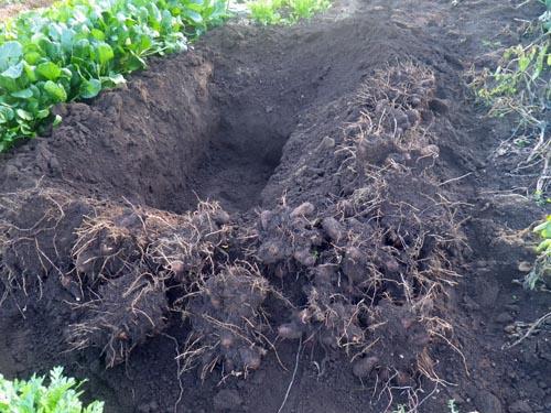 種芋貯蔵穴