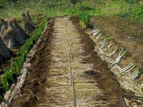 大生姜植え付け