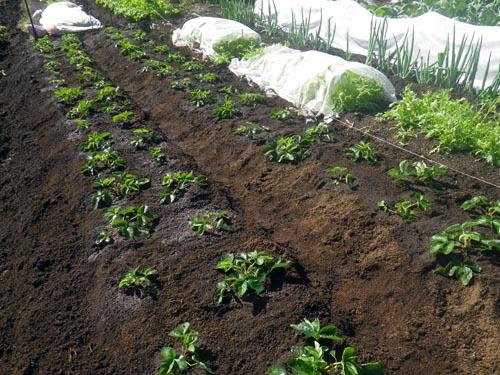イチゴの植え付け